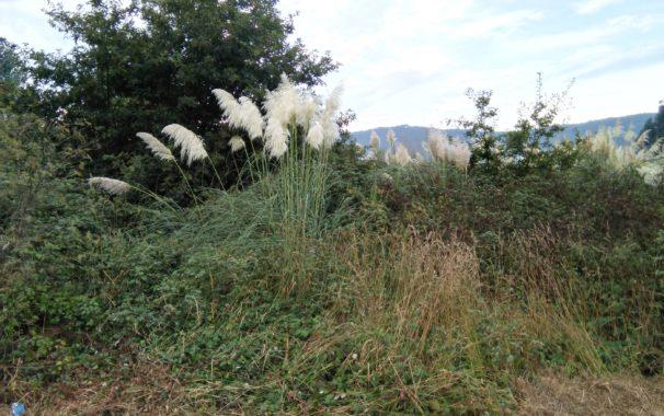 Competencia de la vegetacion autoctona con el plumero